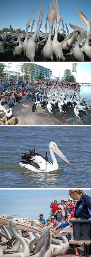 The Entrance Pelican Feeding